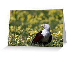 Brahminy Kite (Haliastur indus) Greeting Card