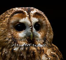Troy the Tawny Owl by TheNissanMan
