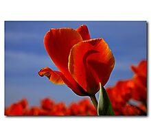 A tulip for a special friend Photographic Print