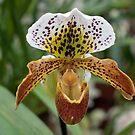 The Solo Tiger Orchid by Sherry Hallemeier