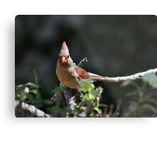 Female northern cardinal perched on a branch Metal Print