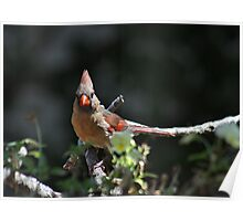 Female northern cardinal perched on a branch Poster