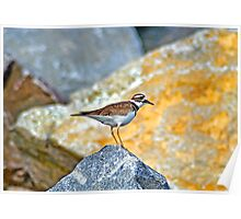 Quarry Killdeer Poster