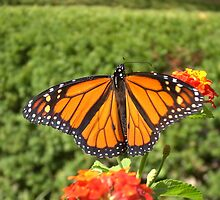 Monarch Butterfly II by Unconventional