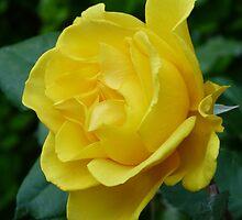 Yellow Rose by Gordon Taylor