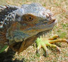 Iggy Iguana!  by heatherfriedman