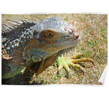 Iggy Iguana!  Poster