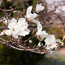 Magnolia Blossoms by Monica M. Scanlan
