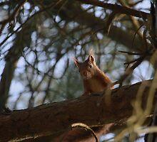 Red Squirrel by Franco De Luca Calce