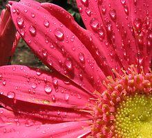 Pink Gerbera Daisy by Amanda Ziegelbauer