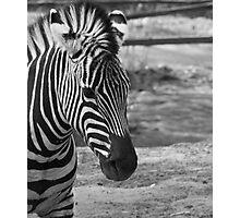 Zebra dreaming Photographic Print