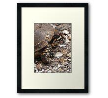 Three-Toed Ornate Box Turtle I Framed Print