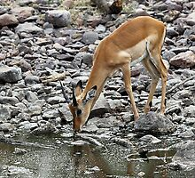 Female Impala Drinking, Tanzania by Carole-Anne