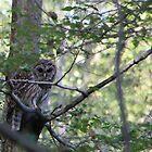 Barred Owl by outlawboy2