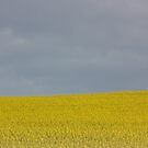 rape seed in flower by lutontown