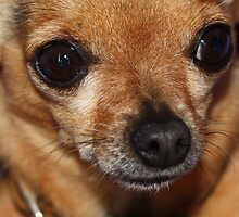 Killer chihuahua by lutontown