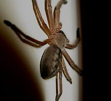 Seeking Shelter- Huntsman Spider Rest Indoors by starvingphoto