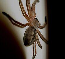 Seeking Shelter- Huntsman Spider Rest Indoors by starvingphoto