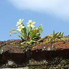 primroses on a wall by lutontown