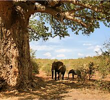 """Two Giants - together"" - African elephants under Baobab tree - Kruger Nat. park - SA by Sandy Beaton"