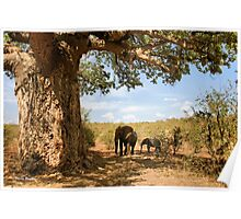 """Two Giants - together"" - African elephants under Baobab tree - Kruger Nat. park - SA Poster"