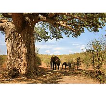 """Two Giants - together"" - African elephants under Baobab tree - Kruger Nat. park - SA Photographic Print"