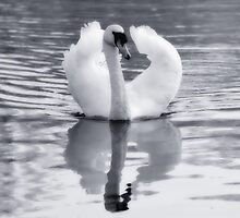 Swan by Nigel Bangert