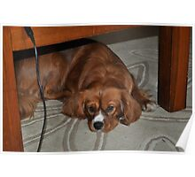 A King Charles Spaniel. Poster