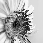 Gerbera Black &amp; White by Toni McPherson