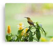 Mellow Yellow - sunbird Canvas Print