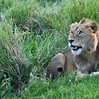 Lion in Tanzania by Raymond J Barlow