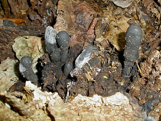 Dead Man's Fingers Mushrooms - Xylaria polymorpha  by MotherNature