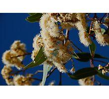 Gum Blossoms Photographic Print