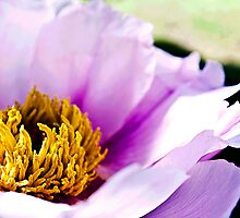peony flower by 7incondotta
