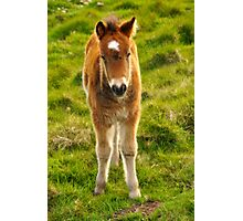 Exmoor pony foal Photographic Print