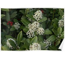 Holly Bush in Bloom Poster