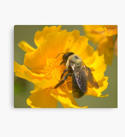 Honey Bee on Coreopsis, 8x10 Canvas Print