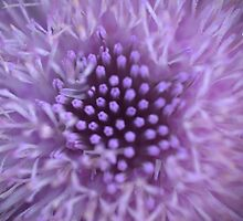 Purple Thistle Blossom by DaveMoffatt