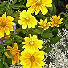 More Yellow Daisies by Shulie1