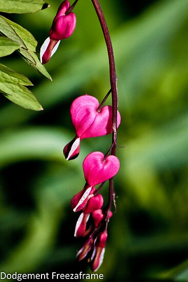 Bleeding Heart by freezaframe