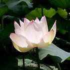 Lotus Flower by Jason Dymock
