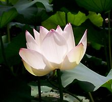 Lotus Flower by Jason Dymock Photography