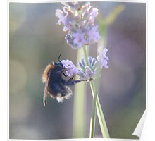 Lavender and Bee..... Poster