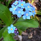 Myosotis by patjila