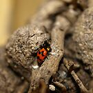 Lady beetle by Jason Dymock