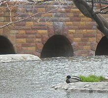 Mallard Sitting Onshore at Park by Felicia722