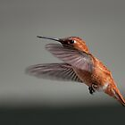 Rufous Hummingbird Flying - Female by Daphne Eze
