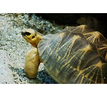 Horned Tortoise Photographic Print