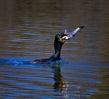 Double Crested Cormorant - Livin Large by John Absher