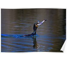 Double Crested Cormorant - Livin Large Poster